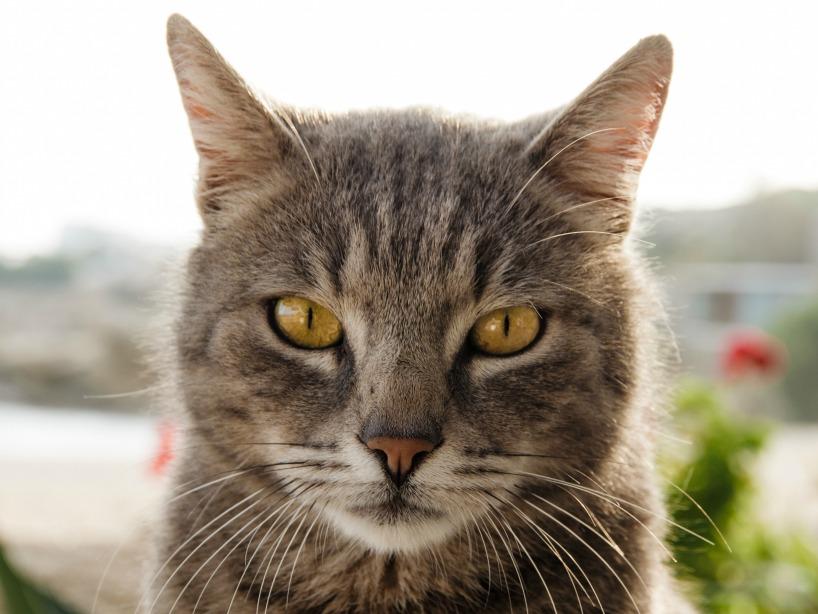 turkish van cat breeders