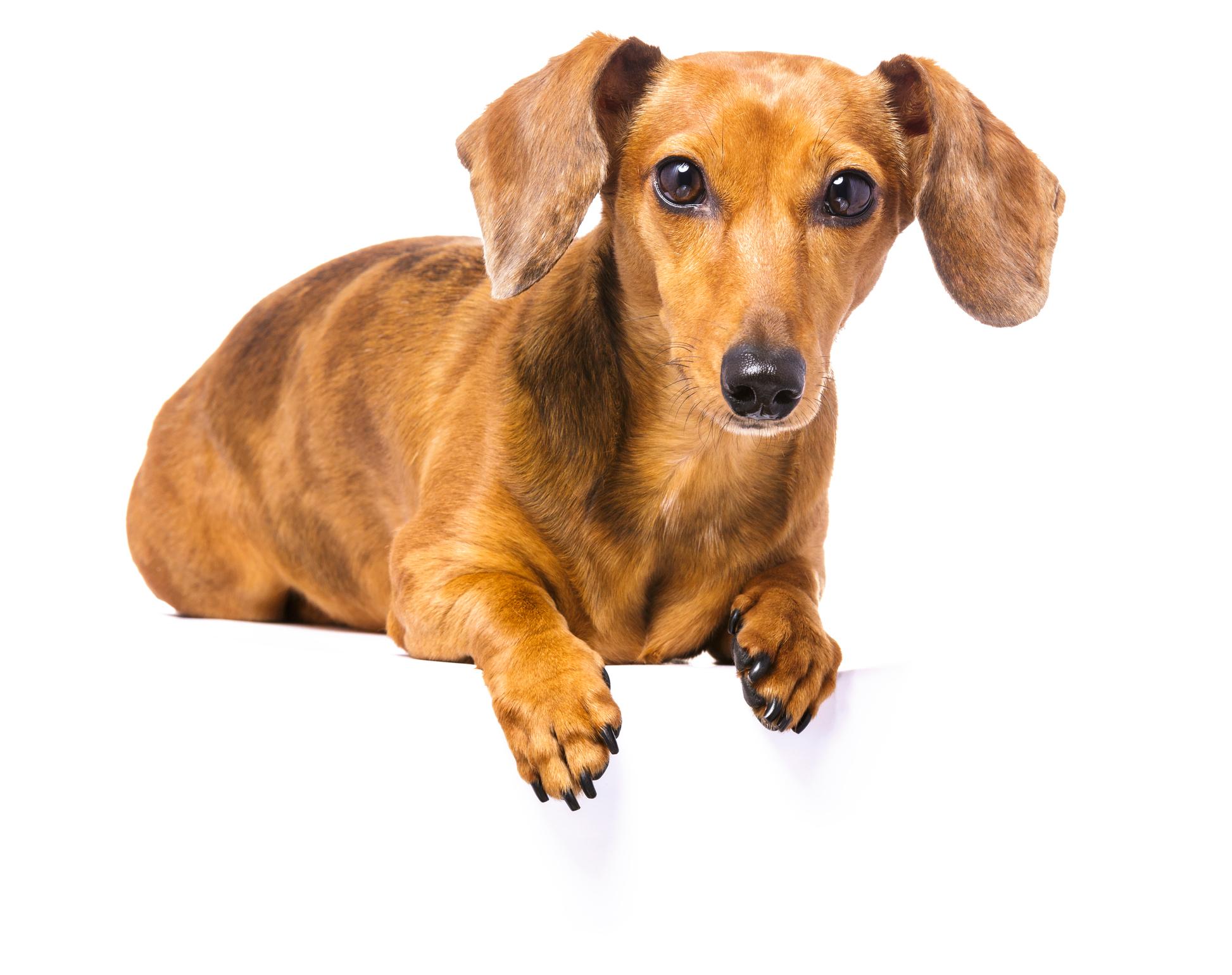 Sudden Blindness In Dogs Dr Justine Lee Dvm Dacvecc Dabt Dr