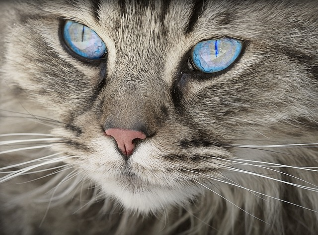why is my cat yellow, hepatic lipidosis in cats, fatty liver, cats, justine lee