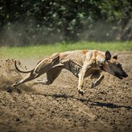 How the Florida greyhound ban can be bad | Dr. Justine Lee, DACVECC, DABT