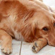 Cancer: The #1 killer of dogs | Dr. Justine Lee