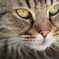 Does it hurt if my cat's whiskers get cut? | Dr. Justine Lee, DACVECC, DABT, Board-certified Veterinary Specialist