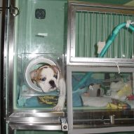 New canine influenza strain affecting Chicago outbreak | Dr. Justine Lee