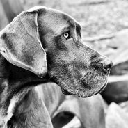 Food bloat in dogs | Dr. Justine Lee, DACVECC, DABT, Board-certified Veterinary Specialist