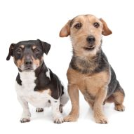 New Canine Influenza Virus vaccine for H3N2 available | Dr. Justine Lee