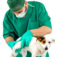 Canine Influenza outbreak at dog shows in Florida | Dr. Justine Lee, DACVECC, DABT, Board-Certified Veterinary Specialist