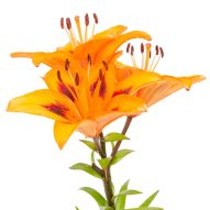 Keep lilies away from kitties! | Dr. Justine Lee, DACVECC, DABT, Board-certified Veterinary Specialist